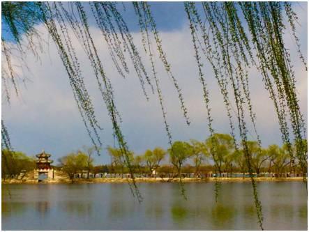 城市里为何偏要种杨柳树?
