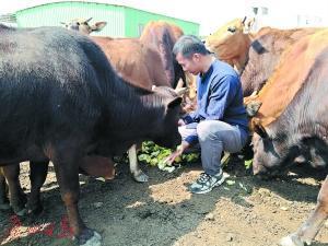 邹子龙和他养的牛。