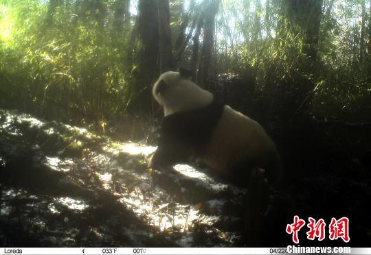 红外照相机采集的大熊猫影像。 钟欣 摄
