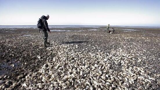 千万只小龙虾入侵加州海滩 网友:簋街三天的量