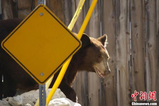 资料图:美国加州,一只闯进市区的黑熊。
