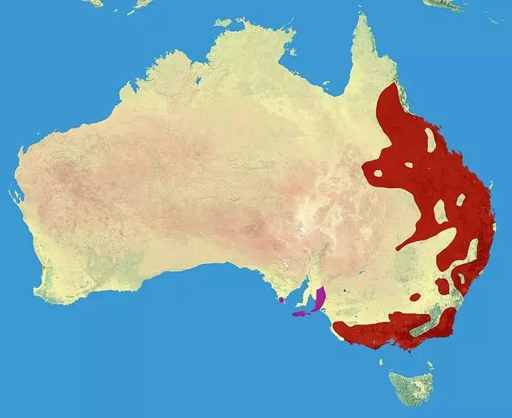 ▲考拉熊分布地图 图片来源:维基百科