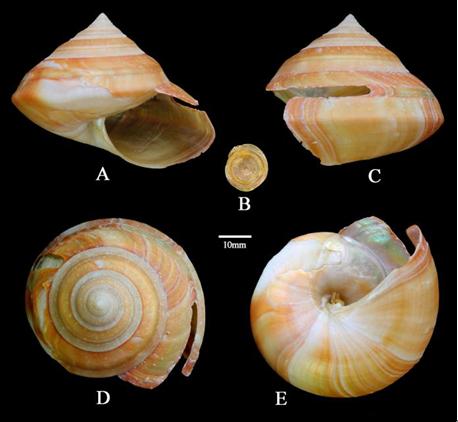 海洋所发现深海热液区和海山区软体动物新属种