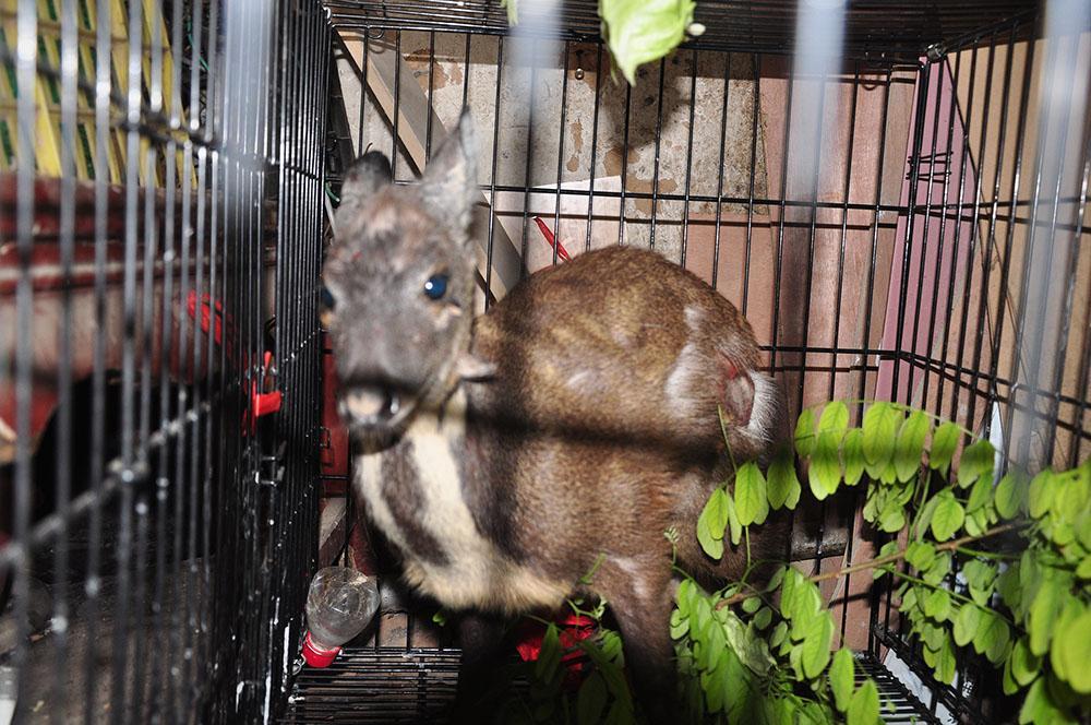 陕西黄龙首次发现国家一级保护动物原麝