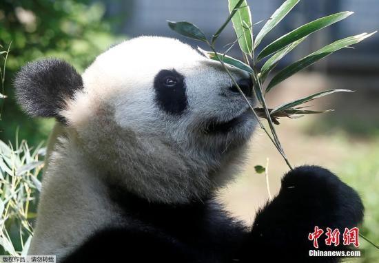"""大熊猫""""真真""""。"""