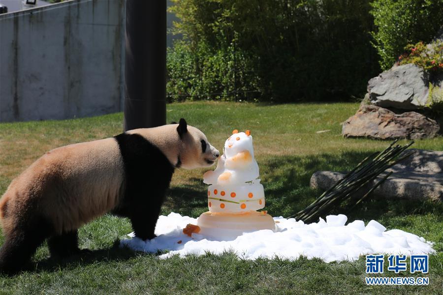 """大熊猫""""优浜""""享用动物园准备的礼物(图片来源:新华社)"""