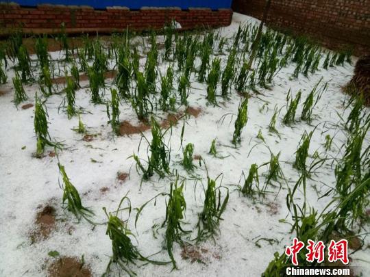 图为被冰雹损坏的农作物。 钟欣 摄