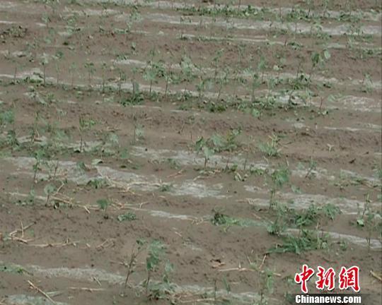 8日,当地受灾较严重的棉花地一片狼藉。 尚志刚摄
