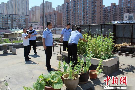 警方依法将已经成熟的64株罂粟全部铲除。 杨那 摄