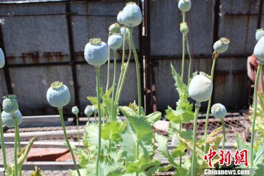 罂粟。 杨那 摄