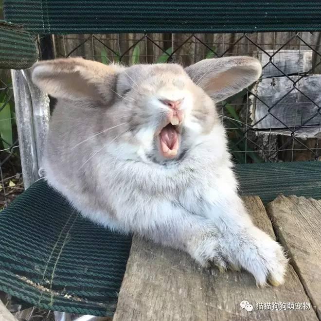 没有什么比打呵欠的兔子更可怕