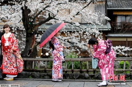 日本京都樱花绚丽,民众穿和服赏景。