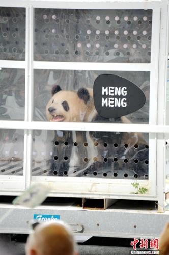 """当地时间6月24日下战书,中国租借给德国的一对大熊猫""""梦梦""""、""""娇庆""""顺遂抵达德国柏林,受到热烈接待。图为""""梦梦""""在接待仪式上向在场观众""""卖萌""""。彭大伟 摄"""