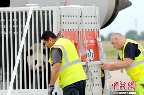 图为两只大熊猫正在从乘坐的货运专机上被卸下。彭大伟 摄