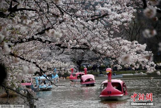 资料图:日本东京的一个公园内,人们游船赏樱。