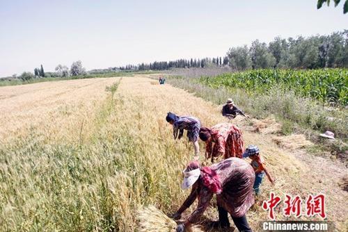 资料图:农民正在抢收夏粮。中新社记者 王小军 摄