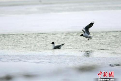 2005年5月中旬,两只灰雁在可可西里无人区多格错仁附近的冰河中嬉戏。中国大部分地区进入夏季的时候,这里依然一片冰雪世界。中新社记者 武仲林 摄
