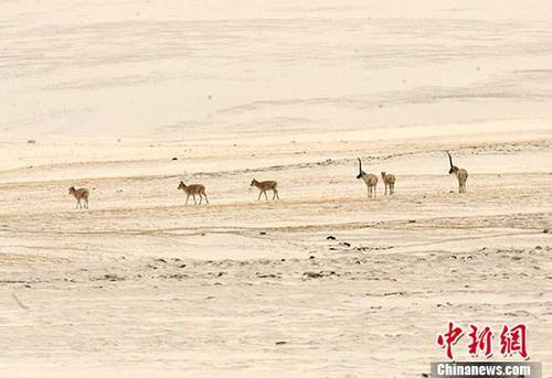 2005年5月23日,中国青海可可西里国家级自然保护区管理局局长才嘎在西宁接受记者采访时称,通过前一阶段的科考和调查,初步显示在可可西里和周边地区,藏羚羊种群数从1998年的1.5万只恢复到了现在的5万只左右,藏羚羊的保护取得了实质性成效。 图为一批藏羚羊五月在可可西里无人区内觅食。 中新社记者 武仲林 摄