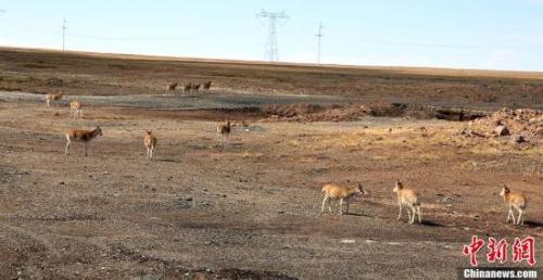随着保护力度的加大,野生动物种群数量恢复明显,以前很难看到的藏野驴、藏羚羊等动物如今在青藏公路边随处可见。中新社发 赵凛松 摄