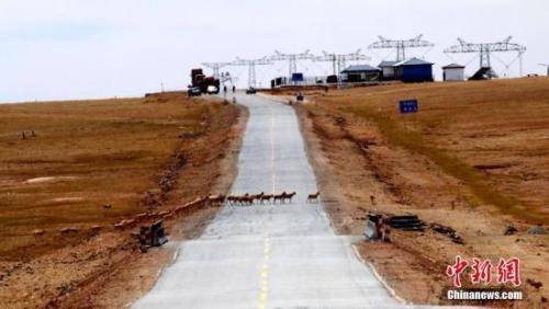 藏羚羊通过青藏公路。中新社记者 才仁桑周 摄