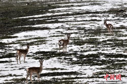 """可可西里给高原野生动物创造了得天独厚的条件,成为野生动物的""""快乐天堂""""。中新社记者 胡友军 摄"""