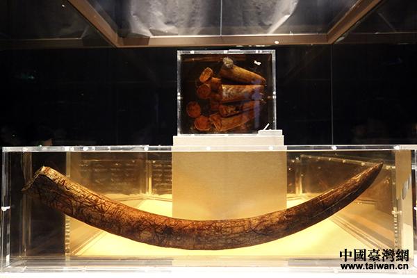 出土的象牙。(中国台湾网 李宁 摄)