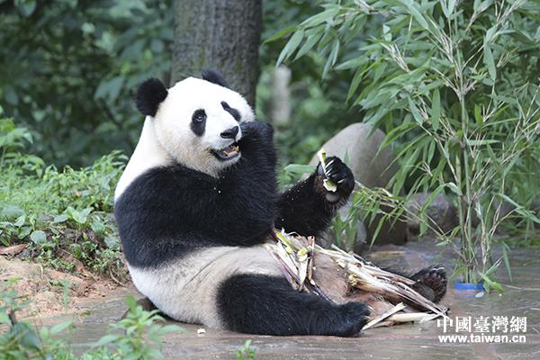 大熊猫汪佳在悠闲吃竹子.(中国台湾网 李宁 摄)