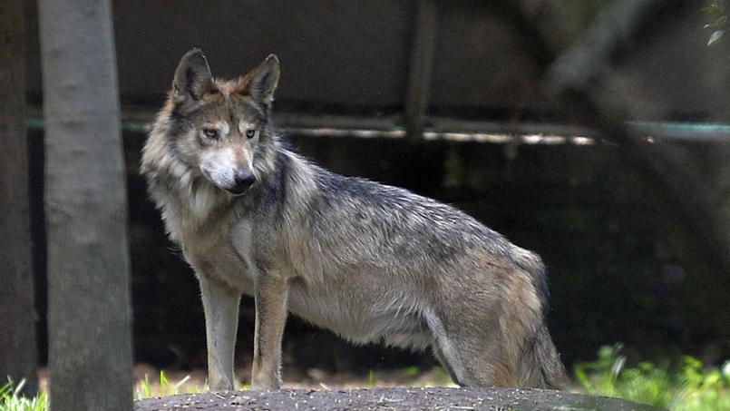法媒:林中野狼或为法国森林火灾间接成因