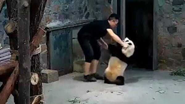 """豢养员回应""""摔熊猫"""":被咬伤后心急"""