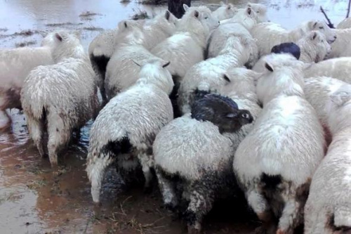 兔子跳羊背上暴雨中逃命 牧羊人:从未见过(图)