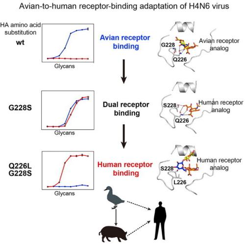 H4亚型禽流感病毒适应人的分子机制和跨种间传播预警预测研究获进展
