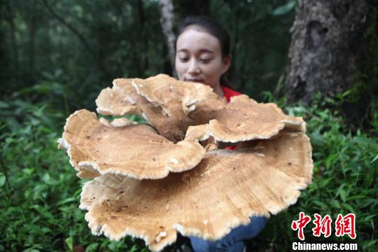 云南普洱惊现巨型蘑菇。陶平摄