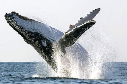 """惊险!澳大利亚渔船出海遇鲸鱼 被撞""""起飞"""""""