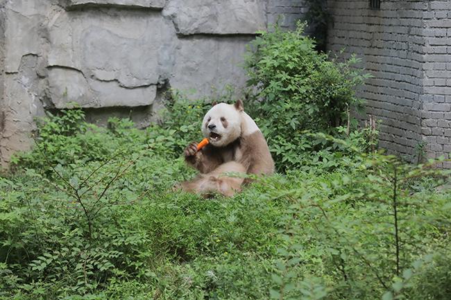"""大熊猫脱离""""濒危""""名单,四川、陕西、甘肃将建起国家级保护公园"""