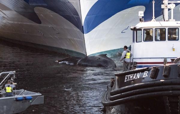 公主邮轮旗下的至尊公主号9日在阿拉斯加港口靠岸时,发现船首挂着鲸尸