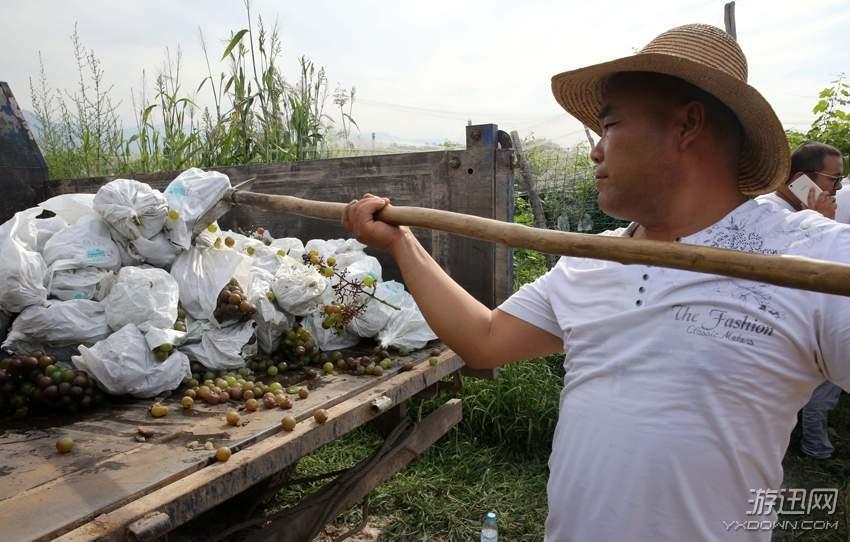 果农滥用催熟药剂 两万斤葡萄被深埋