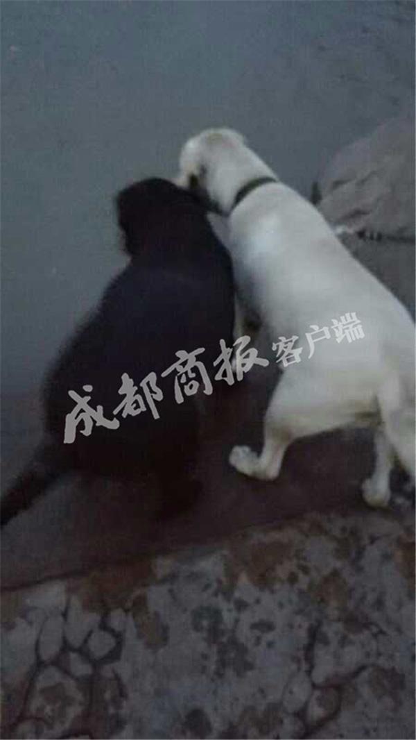 落水者的两只狗。