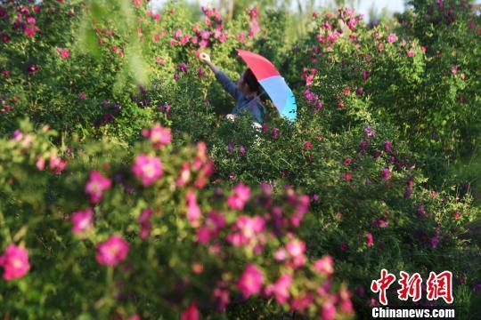 兰州新区盛开的玫瑰吸引游人驻足。(资料图) 杨艳敏  摄