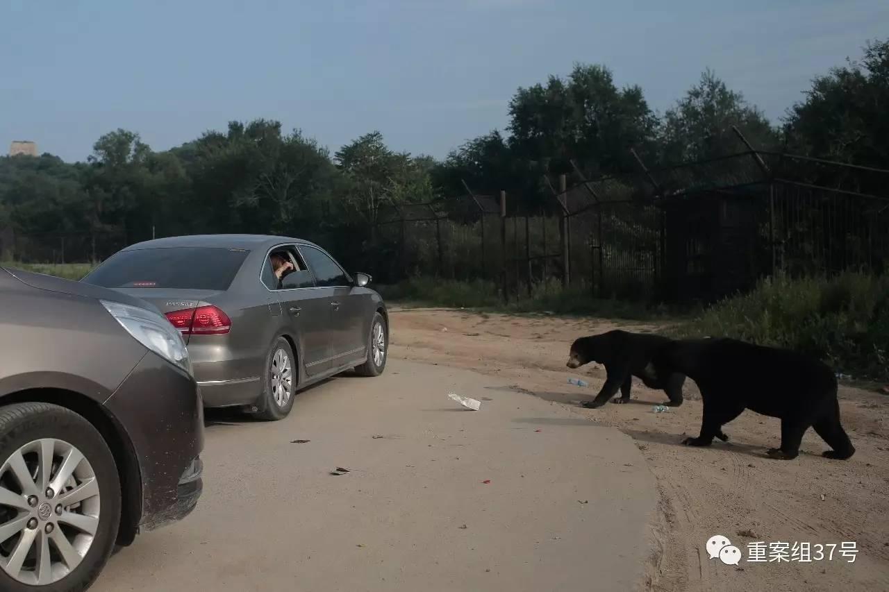 """▲2017年8月21日下战书,北京市八达岭野生动物天下马来熊园里,一辆自驾嬉戏的私人车搭客多次摇下车窗,给马来熊投喂矿泉水、牛奶等食物。8月18日,离去年""""7·23老虎伤人事务""""周年已往还不足一个月,该动物园再次发生由于自驾游游客在黑熊区私自开窗被黑熊咬伤的事务。新京报记者 朱骏 摄"""