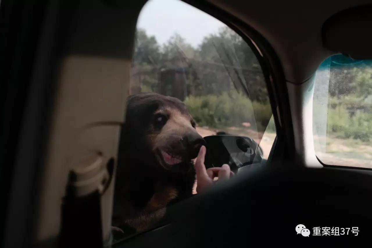 ▲2017年8月21日下战书,北京市八达岭野生动物天下马来熊园里,一只马来熊贴着车窗张望。新京报记者 朱骏 摄