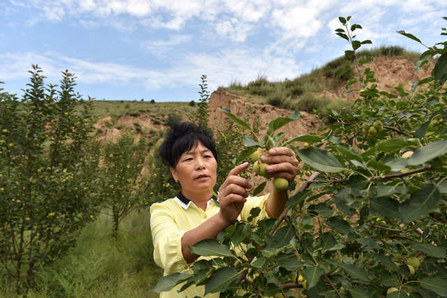 在山西省右玉县杨千河乡南崔家窑村,余晓兰在查看苹果的生长情况(7月29日摄)。 新华社记者詹彦摄
