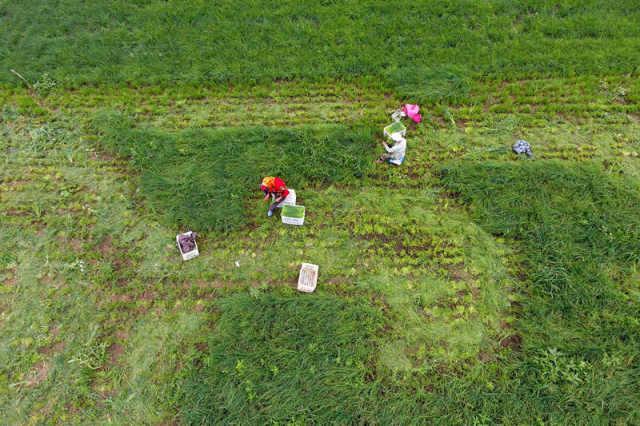 在山西省右玉县右玉图远实业有限公司的刘家窑村千亩小米葱种植基地,村民在收获小米葱(7月28日摄)。 新华社记者詹彦摄