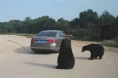 8月21日下午,八达岭野生动物园马来熊园里,一辆私家车上的乘客摇下