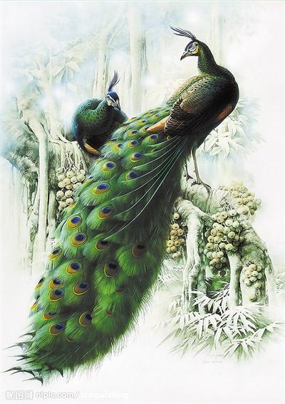 他拍摄过的动物不计其数,17年前,绿孔雀振翅而飞的画面一直深驻于他