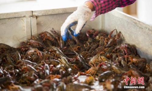 资料图:养殖户在捕捞小龙虾。傅建斌 摄