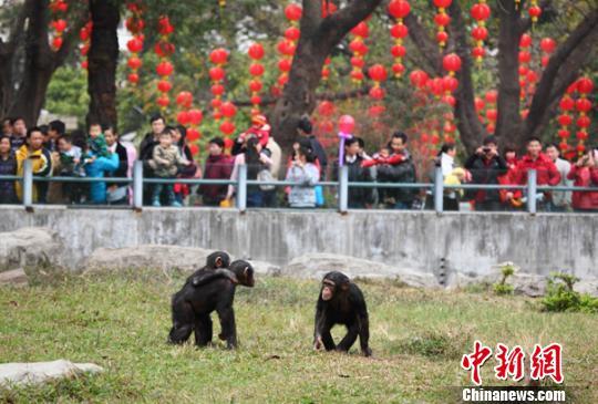 广州植物园的黑猩猩(材料图)通信员供图