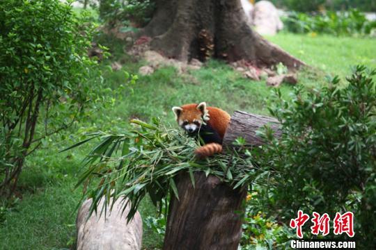 广州植物园的小熊猫(材料图)通信员供图
