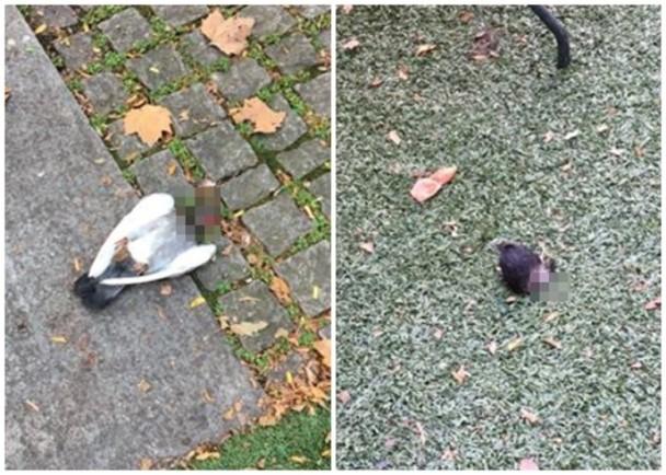 被虐杀的鸽子遗留在公园地上。(图片来源于互联网)