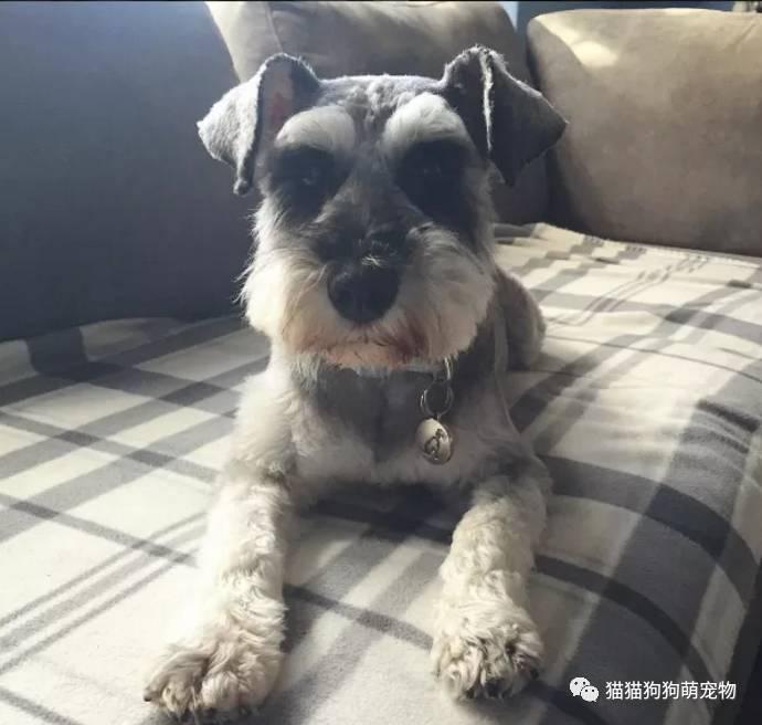 你见过这么可爱的雪纳瑞狗狗吗?