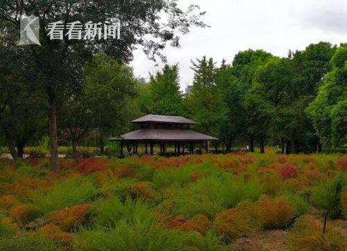 最新博彩娱乐网站大全红叶地肤悄悄由绿变红 世纪公园2万平米红毯美景渐入佳境